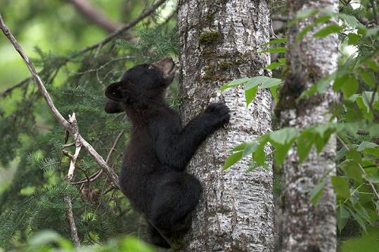 Mládě šplhá po stromě v minnesotském přírodním parku.