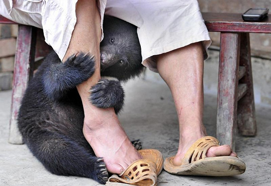 Medvídci k Tianovi opravdu přilnuli.