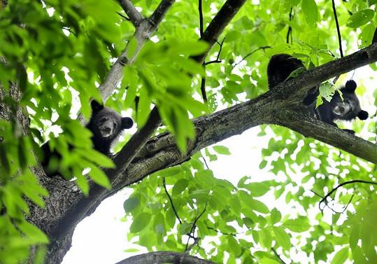 Tianovi medvědi jsou šikulové - lezení po stromech jim nedělá problém.