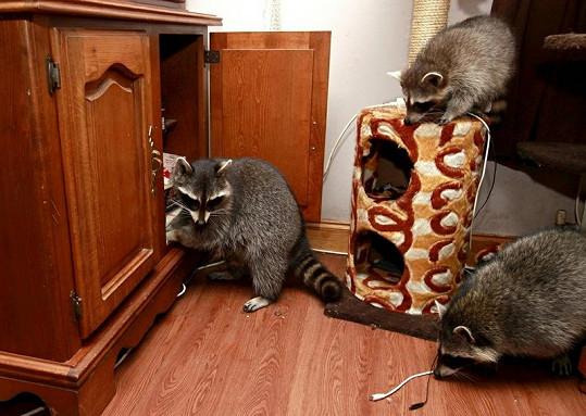 Mývalové v domě prolezou vše.