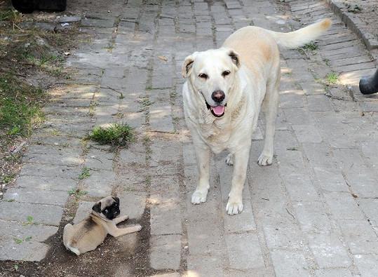 Mops Max a labradorka Pralinka.