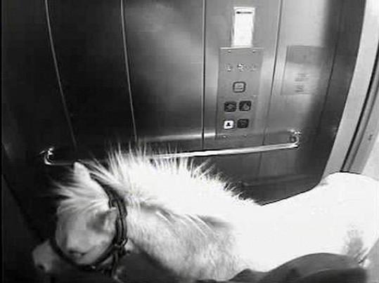 Kůň jede ve výtahu.