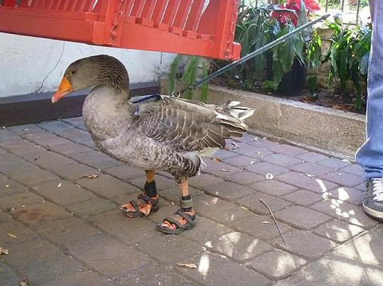 Sandálky pro husu.