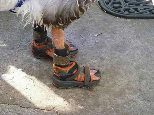 Husa si nové botky oblíbila.