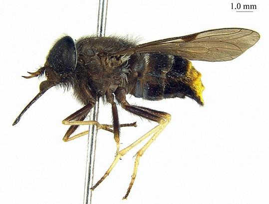 Ovád Scaptia beyonceae, který nese jméno po slavné zpěvačce.