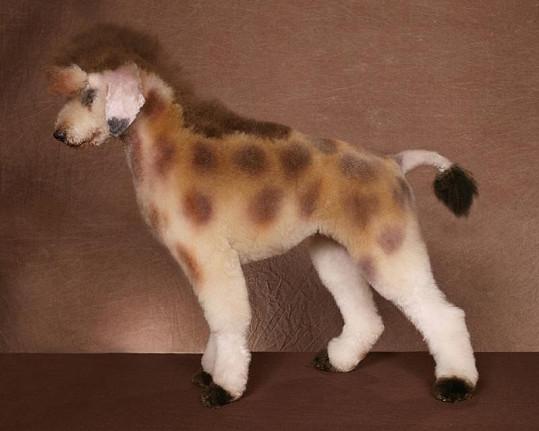 Žirafa.
