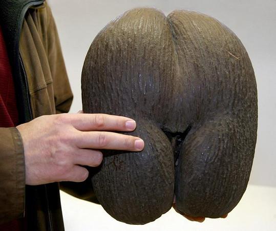 Exotické semeno, které si William a Kate přivezli z líbánek na Seychelách. Na snímku exemplář ze semenové banky v Berlíně.