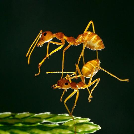 Mravenci jako zdatní akrobaté.