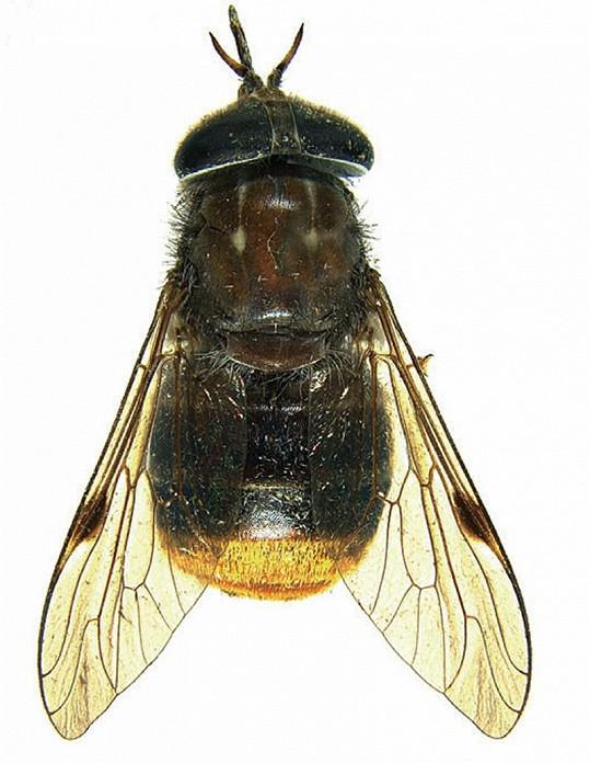 Tento hmyz dostal jméno podle Beyoncé.