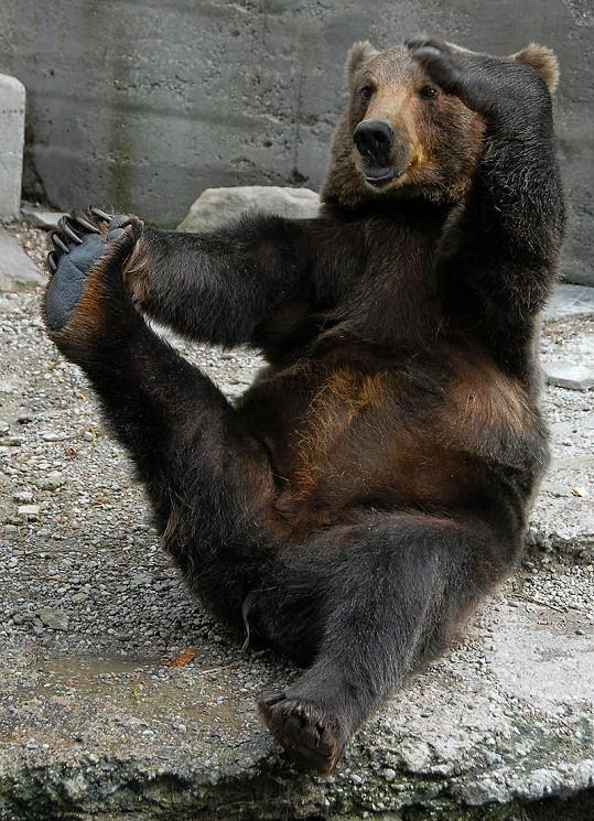Medvěd Michail předvádí své cviky.