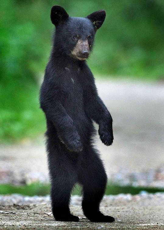Medvídě si fotografa zvědavě prohlíželo.