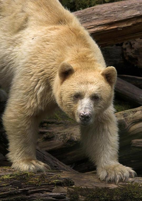 Pro Indiány byl bílý medvěd kermodský posvátný.