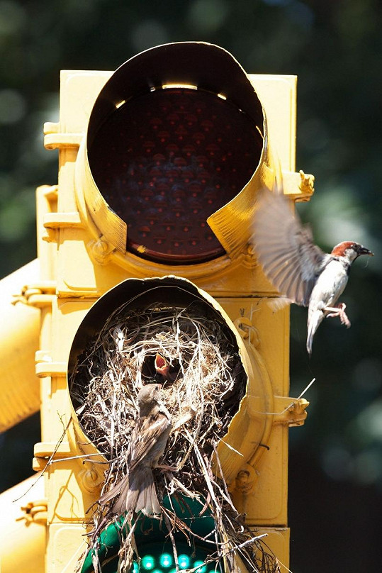 Ptáci si k hnízdění vybrali opravdu neobvyklé místo.