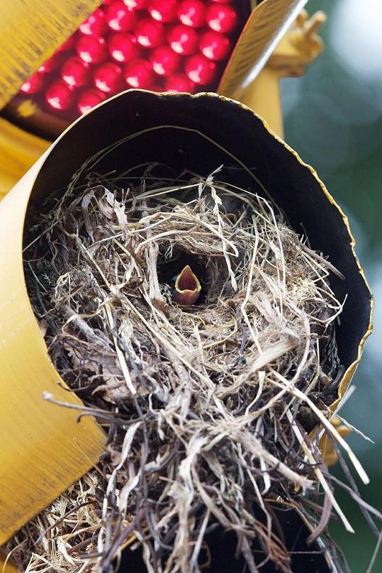 Vrabci hnízdící v semaforu.