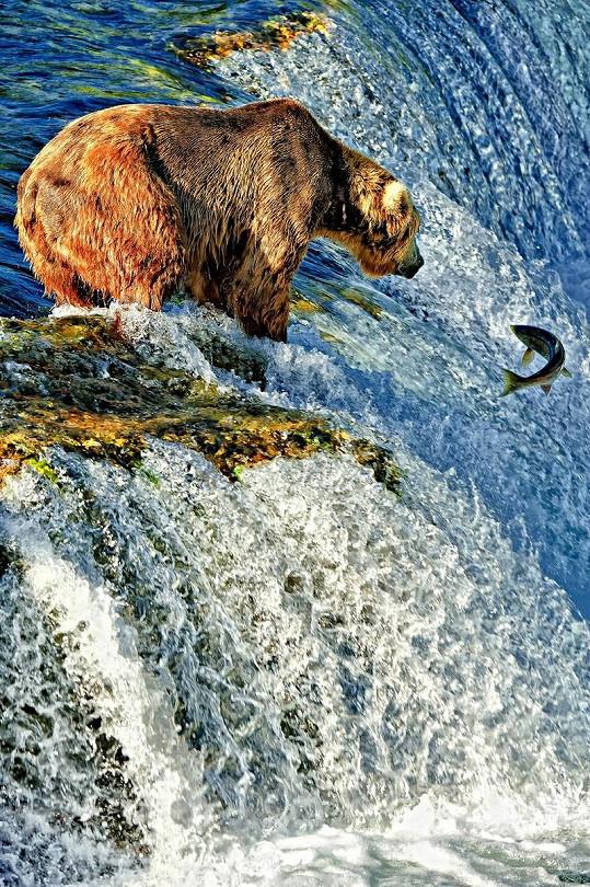 Medvěd vyčkává, než udeří.
