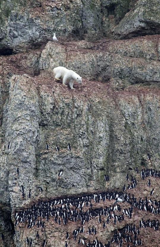 Medvěd musel dávat velký pozor, aby mu neuklouzla tlapa.