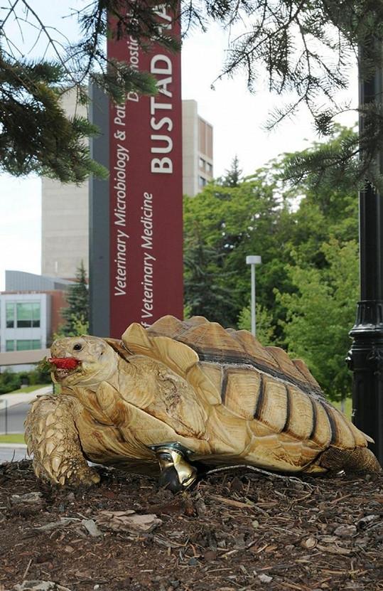 Statečná želva s nevšední protézou.