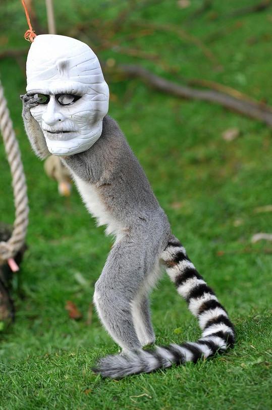 Tenhle lemur se v zoo určitě nenudí.
