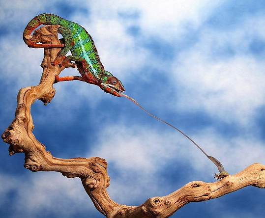 Jazyk chameleona slouží jako zbraň.