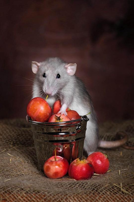 Potkan není nebezpečným přenašečem nemocí, ale milým společníkem.