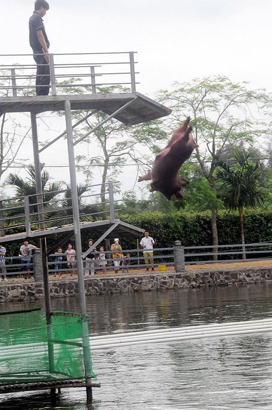 Nejodvážnější čuníci skáčou i z pětimetrové výšky.