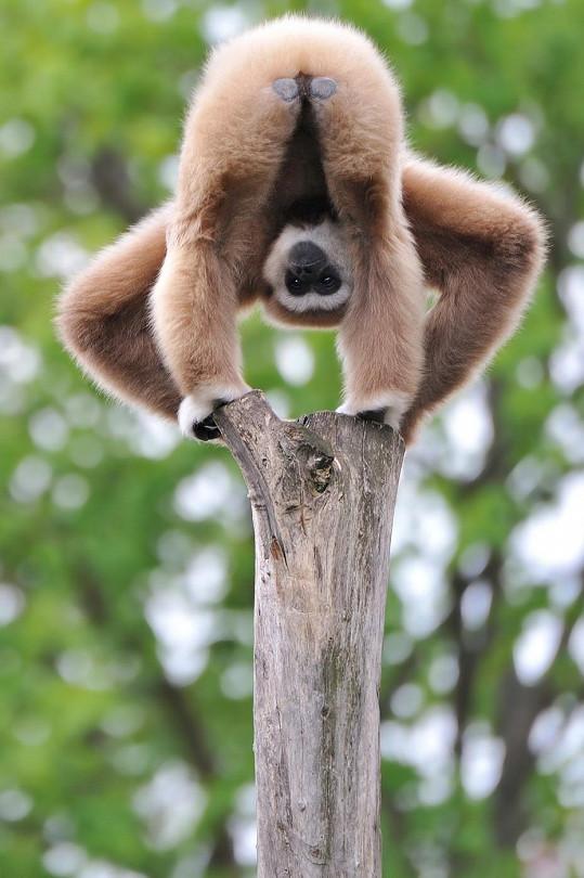 Shodné znaky vykazuje chování opic.