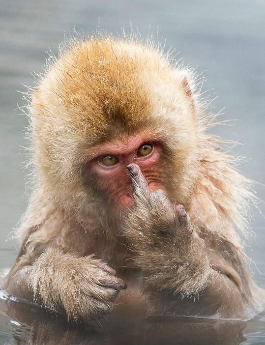 Tento opičák nemá rád zásahy do soukromí.
