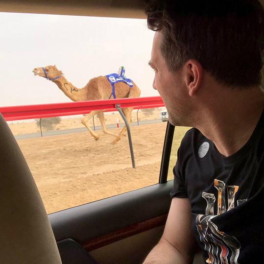 Místo koňských dostihů jsou v Dubaji populární ty velbloudí.