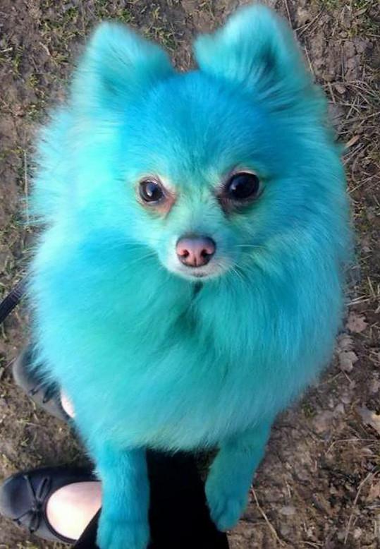 Pejska jeho majitelka nechává barvit v exkluzivním londýnském psím salonu.