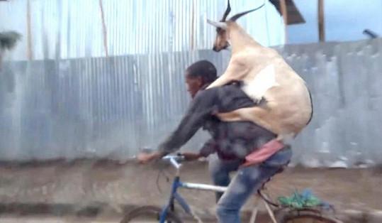 Koza vypadala při projížďce spokojeně.