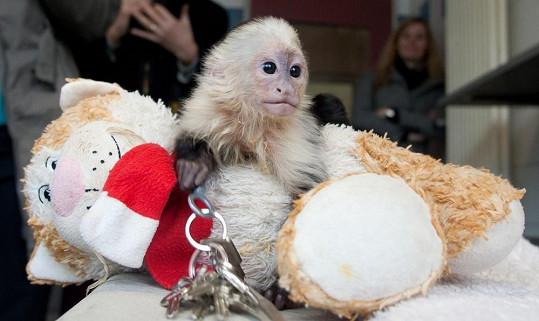 Opičí mláďátko Mally s plyšákem, který mu nahrazuje matku.
