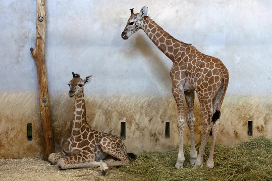 Žirafí mláďata Amálka a Tadeáš.