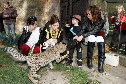 I malý Toník se dostal do bezprostřední blízkosti geparda.