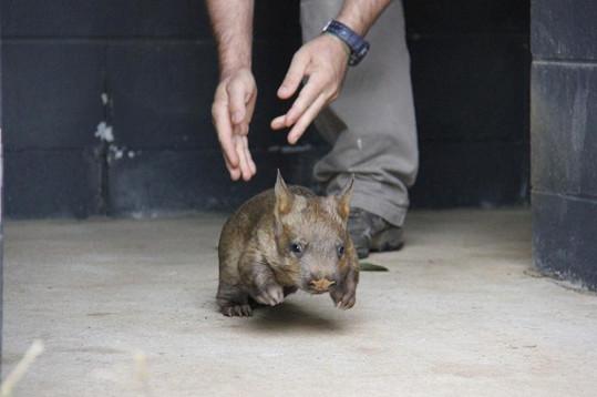 Návštěvníci Zoo si malého vombata zamilovali.