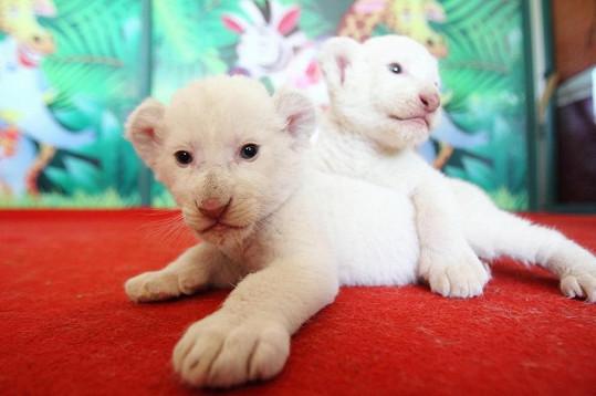 Lvíčata pod dozorem náhradní mámy rostou jako z vody.