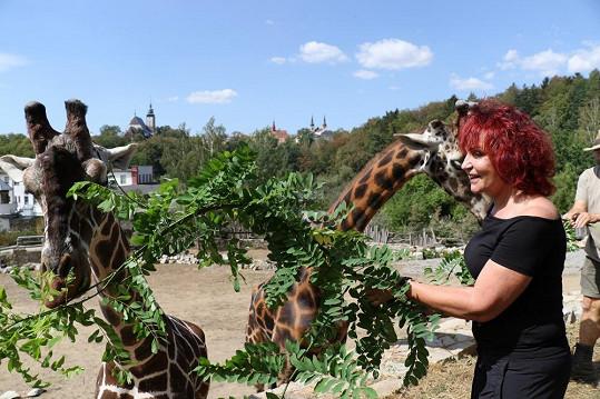 Žirafy málem stáhly Petru Janů do výběhu.