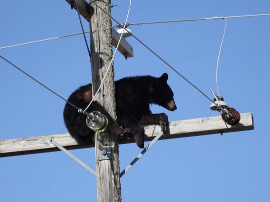 Na stožáru medvěd hledal bezpečí.