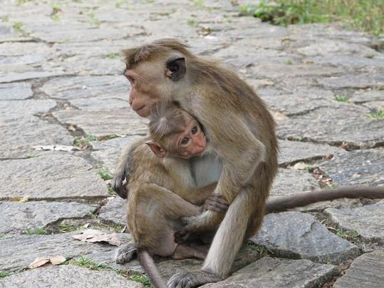 Před všetečnými opičkami se museli mít Gottovi na pozoru.