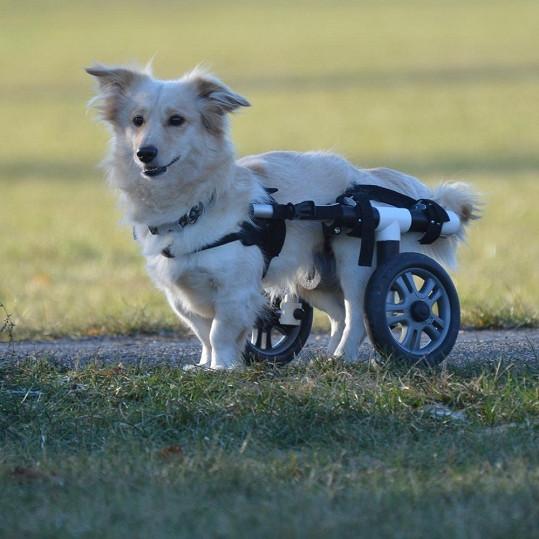 Brit na vozíku