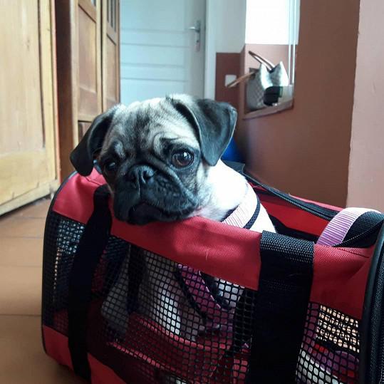 Veronika Žilková zjistila, že se štěně nevejde do tašky. Jinak ho ale přepravit do Izraele nepůjde.
