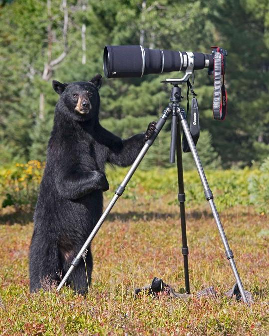 Tato medvědice si prohlédla foťák hezky zblízka.