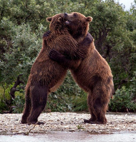 Medvědi si potrpí na pořádné objetí.