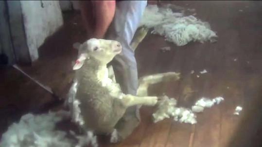 Herečka promlouvá k lidem i ve videu, které je opatřeno drsnými záběry na ovce, které jejich chovatelé zbavují vlny...
