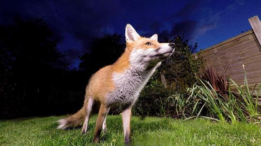 Liška vyrazila na zahardu s cílem ukořistit něco k jídlu.
