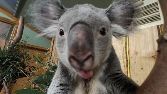 Také koala zatoužila po slávě.