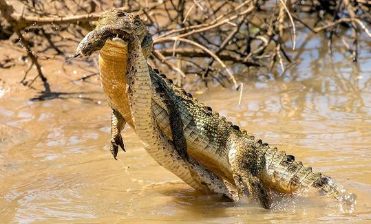 Krokodýl nakonec vyhrál.