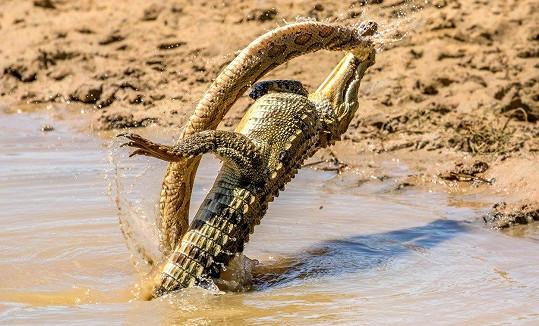 Zmije se pustila do krokodýla.