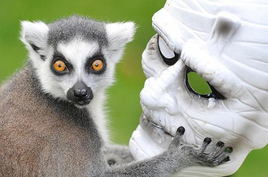 Lemur laškuje se strašidelnou maskou.