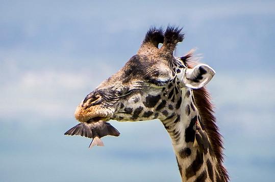 Žirafa trpělivě snášela ptačí zákrok.