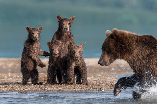 Medvíďata sledují školu života.